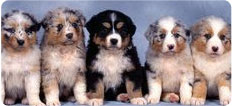 aussie-puppies-for-sale