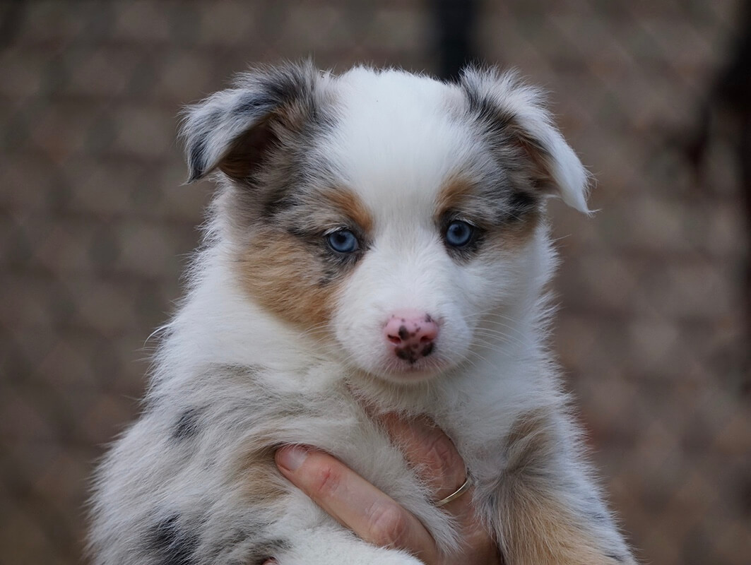Ruby River Mini Aussies
